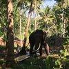 Слон на ферме в период полового созревания. Агрессивен, поэтому отдельно