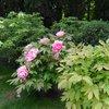Гигантские пионы..цветок размером...как голова)))